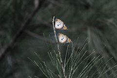 Two plain tiger butterflies Danaus chrysippus. On a pine branch, in Gambia royalty free stock photos