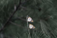 Two plain tiger butterflies Danaus chrysippus. On a pine branch, in Gambia stock images