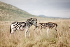 Two Plains Zebra Stock Photography