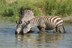 Two Plains Zebra drinking water in the Serengeti, Tanzania Royalty Free Stock Image