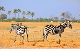 Two plains zebra standing with their backs to each other against a palm treeline backdrop and clear blue sky in Hwange National Pa. Plains zebras standing back stock photography