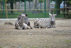 Two plains zebras, or Equus burchelli boehmi Stock Photo
