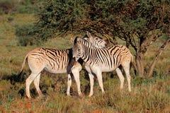 Plains zebras in natural habitat Stock Photography