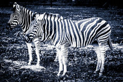 Two Plains Zebras standing in the grass - stylized black and whi Royalty Free Stock Photo