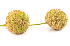 Two plane-tree seed balls Royalty Free Stock Photos