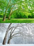 Two Plane Trees In Two Seasons - Summer And Winter Stock Images