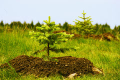 Two planted little fir trees Royalty Free Stock Images