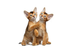Two Playful Abyssinian Kitty Sitting on Isolated White Background Stock Images