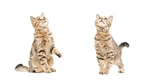 Two playful cats looking up Royalty Free Stock Image