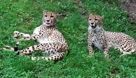 Two Playful Cheetahs Stock Images