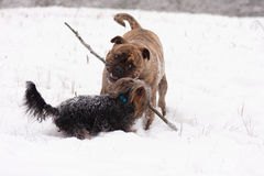 Two playful Dogs Stock Photos