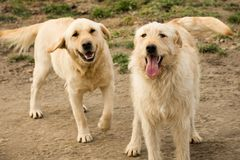 Two playful dogs. Two playful and cheerful golden dogs are standing outdoors and looking at camera Stock Images