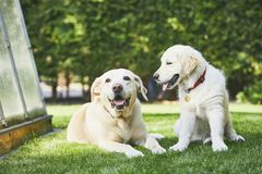 Two playful dogs on garden. Happy old labrador retriver and puppy of golden retriver enjoy together sunny day royalty free stock images