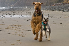 Two playful dogs run on beach