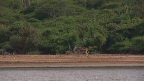 Two playful donkeys. Near a lake stock footage