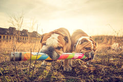 Two playful English bulldogs Stock Photography