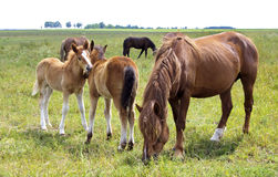 Two playful foal. Two foals playing with each other, and adult horses eating feed Stock Photography