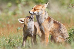 Two playful foxes Stock Photo