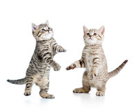 Two playful funny kitten Royalty Free Stock Photos