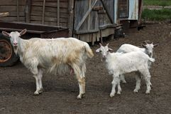 Two playful goat kids meet mother Royalty Free Stock Photos