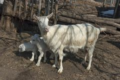 Two playful goat kids meet mother Stock Image