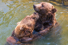 Two playful grizzly bears. Two grizzly bears playing in water Stock Images
