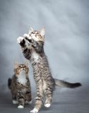 Two playful kittens Royalty Free Stock Photography