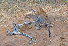 Two playful Leopards. 2 leopards playing on the dusty plains in Hwange National Park Royalty Free Stock Photos