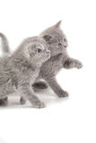 Two playful little kittens Stock Images