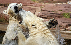 Two playful polar bears Stock Image