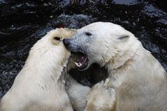 Two playful polar bears in a Zoo. Two playful and fighting white polar bears in a Zoo. Polar Bear (Ursus maritimus) are the largest land carnivore and largest stock image