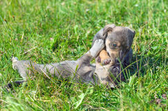 Two playful puppy Royalty Free Stock Photo