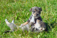 Two playful puppy Stock Photos