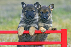 Two playful Shepherd puppies Royalty Free Stock Images