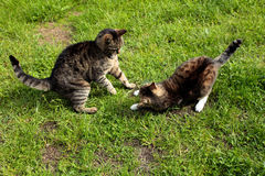 Two playing cats on the grass Stock Images