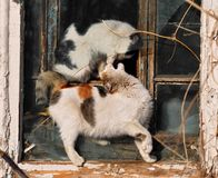 Two playing cats. Two cats are playing in a window stock photography