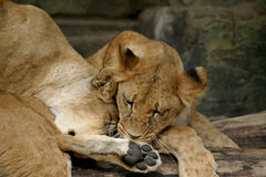 Two playing cubs (young lions) stock images