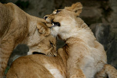 Two playing cubs (young lions) royalty free stock images