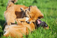 Two playing dogs Stock Images