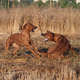 Two playing dogs. Two rhodesian ridgeback playing on field Stock Image