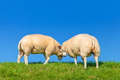 Two playing Dutch sheep on a dyke Royalty Free Stock Photos