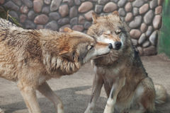 Two playing gray wolves( Canis lupus) Stock Photo