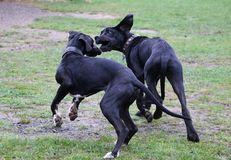 Two playing great danes in the park. Two black great danes have fun in the garden royalty free stock image
