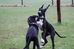 Two playing great danes in the park. Two black great danes have fun in the garden royalty free stock photo