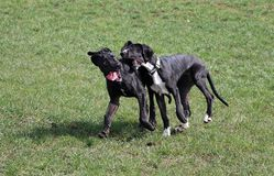 Two playing great danes in the park. Two black great danes have fun in the garden stock photography