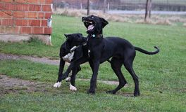 Two playing great danes in the park. Two black great danes have fun in the garden stock image