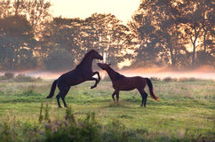 Two playing horses on misty pasture. At sunrise Royalty Free Stock Images