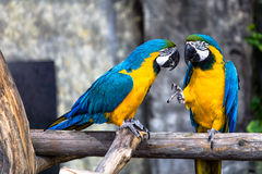 Two playing parrots in love Stock Photo