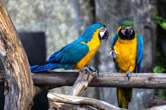 Two playing parrots in love. Having fun with selective focus Stock Photos