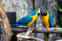 Two playing parrots in love Royalty Free Stock Photography